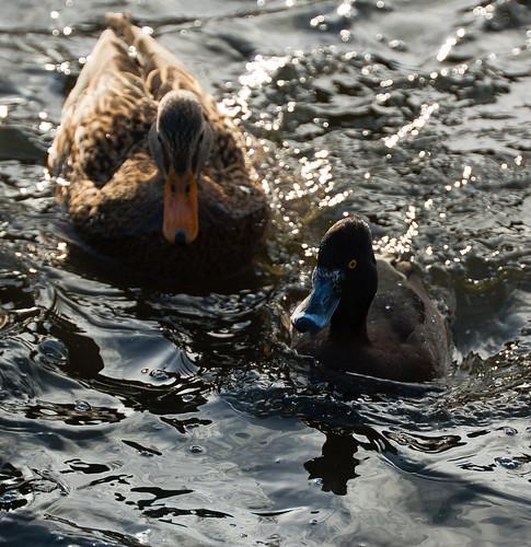 Tufted duck and mallard