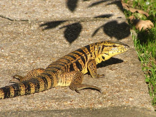 tiger lizard
