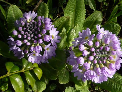 Primula denticula | by brianpettinger