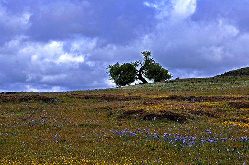 california flowers sky nature northerncalifornia clouds landscape wildflowers lupine tablemountain californiagoldfields lastheniacalifornica skylupine lupinusnanus buttecounty plagiobothrysnothofulvus sonya100 champbass2 commonpopcornflower