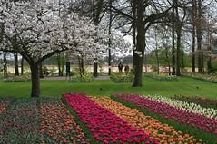Keukenhof flower fields