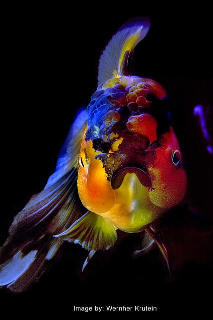 Oranda Goldfish | Vern Krutein | Flickr