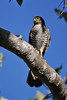 France's sparrowhawk (female) by Louise Jasper