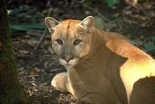 Florida panther | by USFWS/Southeast