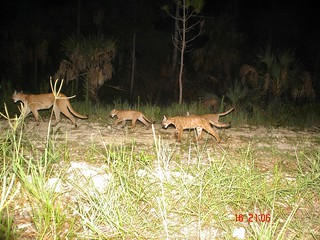 Florida panther family | by USFWS/Southeast