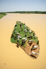 Jun/2005 - Livestock grazing on an island in the River Niger, as seen off a bridge in Niger's capital, Niamey (photo credit: ILRI/Stevie Mann).