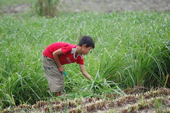 Nov/2009 - Young boy collects high quality grass for feeding to fattening cattle in Ha Tinh, Vietnam (photo credit: ILRI/Alan Duncan).