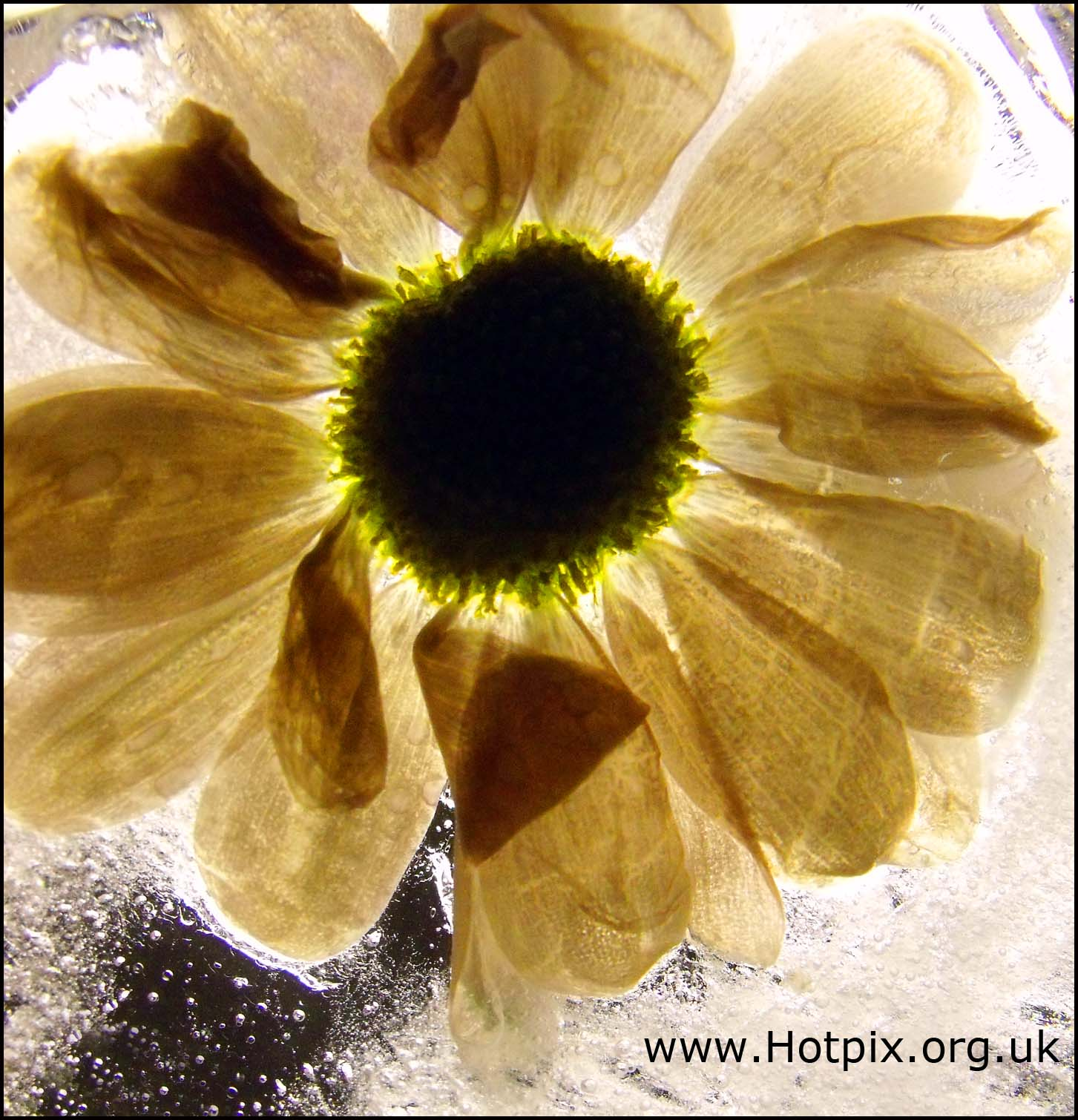 flower,ice,iced,frozen,solid,northwich,cheshire,england,uk,gb,january,2010,winter,weather,hotpixuk,hotpix,tony,smith,tonysmith,tdk,tdktony,yellow,macro,small,close,up,closeup,cold,colder,nature,natural,history,world,life,this photo rocks,plant,bloom,flowers,flores,blome,stillife,stilllife,still