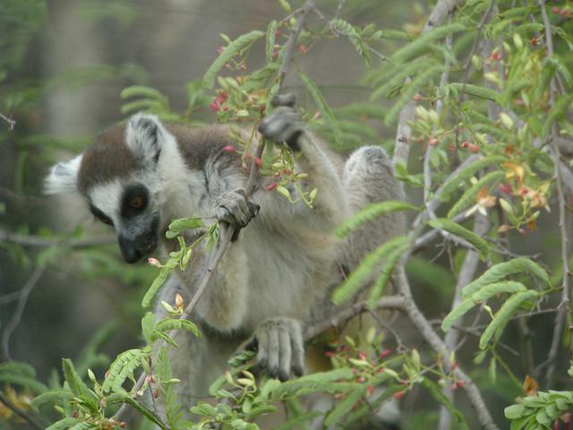 Ring-tailed Lemur (Lemur catta) feeding on tamarind leaves, Tsimanampetsotsa, Madagascar