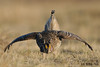 Mating Sharp-tailed Grouse On Lek, The Dance by Rob McKay Photography