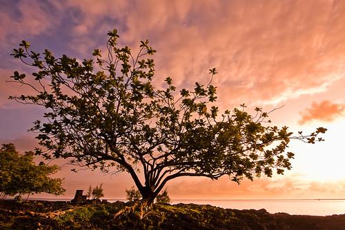 morning tree silhouette sunrise island hawaii coconut bigisland hilo img1446