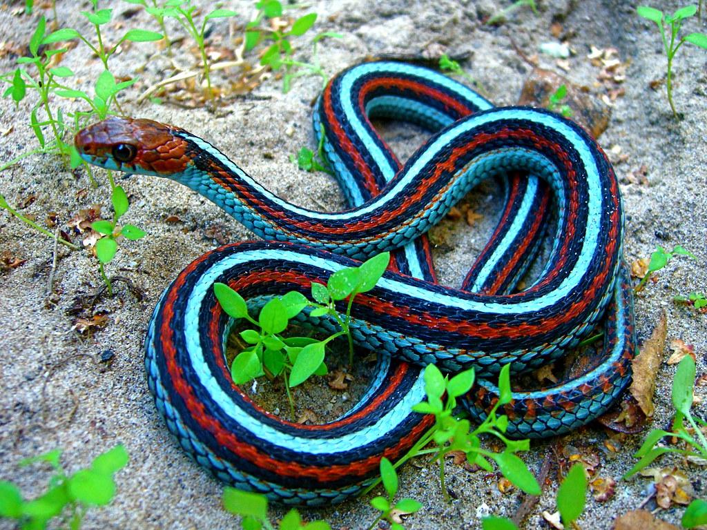 Neon Blue Morph San Francisco Garter Snake Thamnophis Si