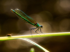 Female Banded Demoiselle