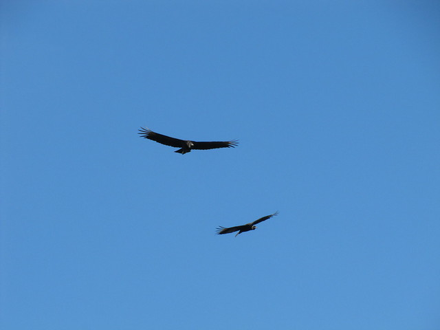 vulture love