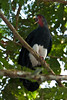 Red-throated Caracara by chlorophonia