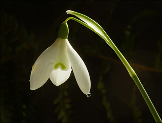 Snowdrop | by mike turtle