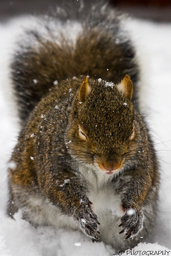 urban cute animal rodent furry backyard squirrel wildlife scavenger greysquirrel mandj98 jmpphotography jamesmarvinphelps