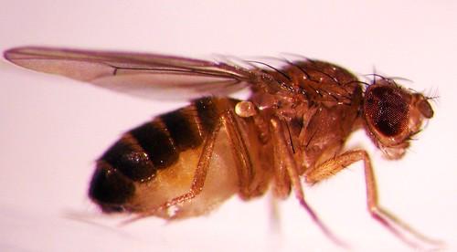 Drosophila melanogaster   by Oregon State University