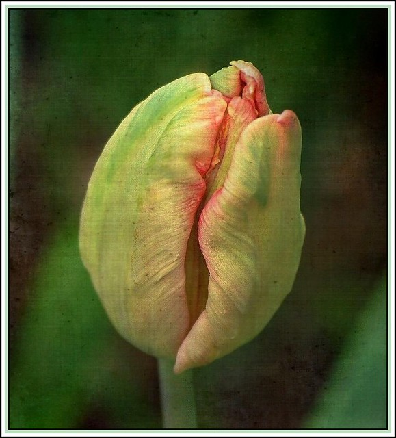 Tulip -Groenland-