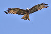Square-tailed Kite by marj k