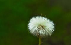 Dandelion Series - 6