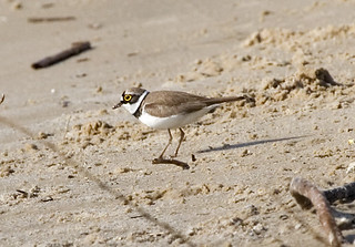 Little Ringed Plover; Charadrius dubius | by phenolog