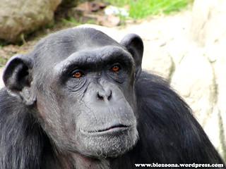 Chimpance cara 1024