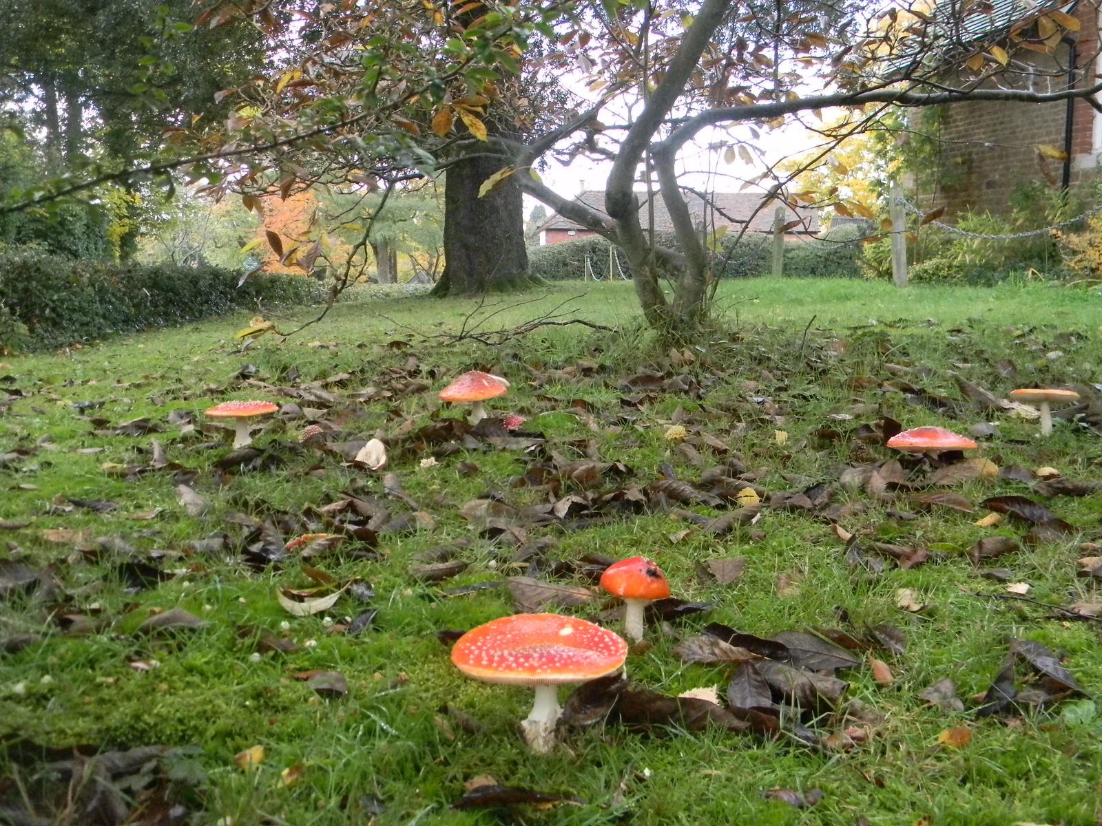 Fly Agaric The church hall's lawn in Thursley boasted an abundance of these colourful toadstools. Milford to Haslemere