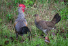 Grey Junglefowl (couple) by Nagesh Kamath
