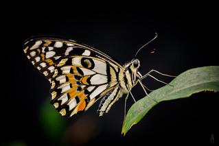 Papilio demoleus | by der LichtKlicker