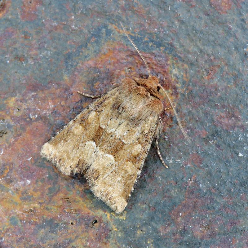 73.176 Middle-barred Minor - Oligia fasciuncula