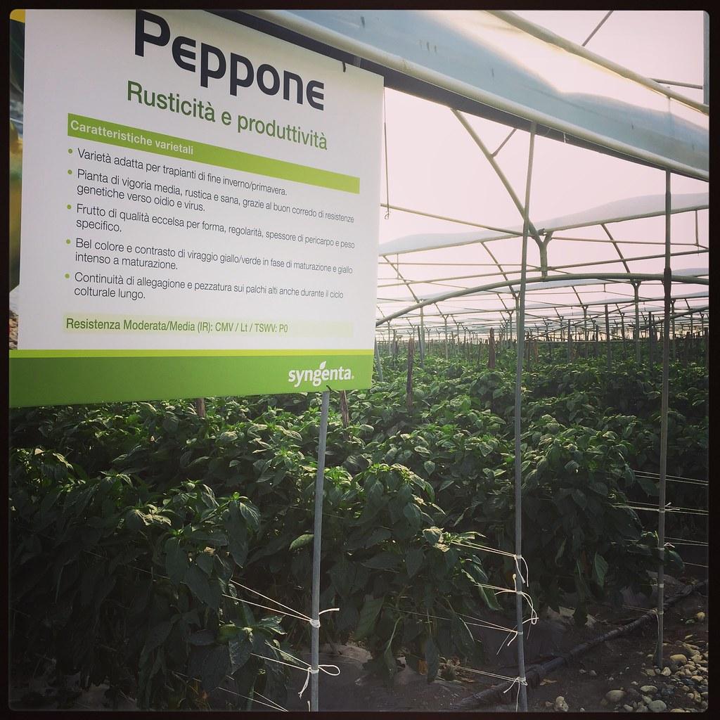 Orticoltura e Valore - prove in campo Peperone 2015 - 2085