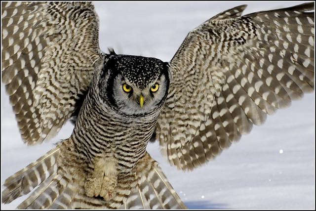 Northern Hawk Owl (Explore) - 0157a