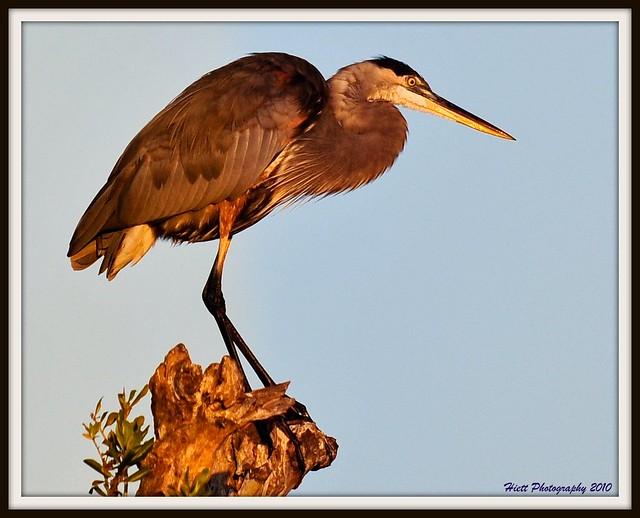 The Heron King...