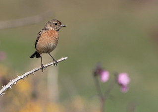 Mrs Stonechat makes another appearance | by Cyclingrelf