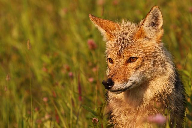 Mr. Coyote