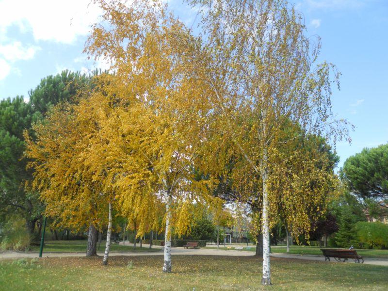 Abedules en otoño 2