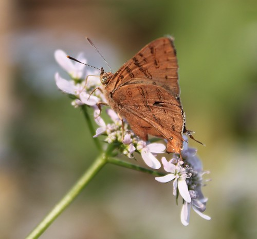 Common Shot Silverline on Coriander flowers | by balharsh