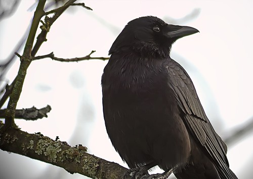 Black Crow, White Sky