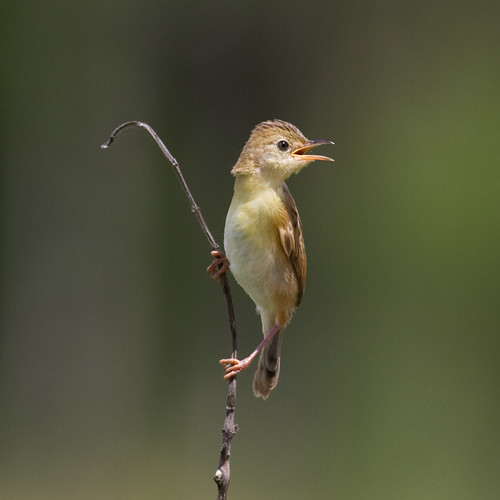Golden-headed Cisticola | by petefeats