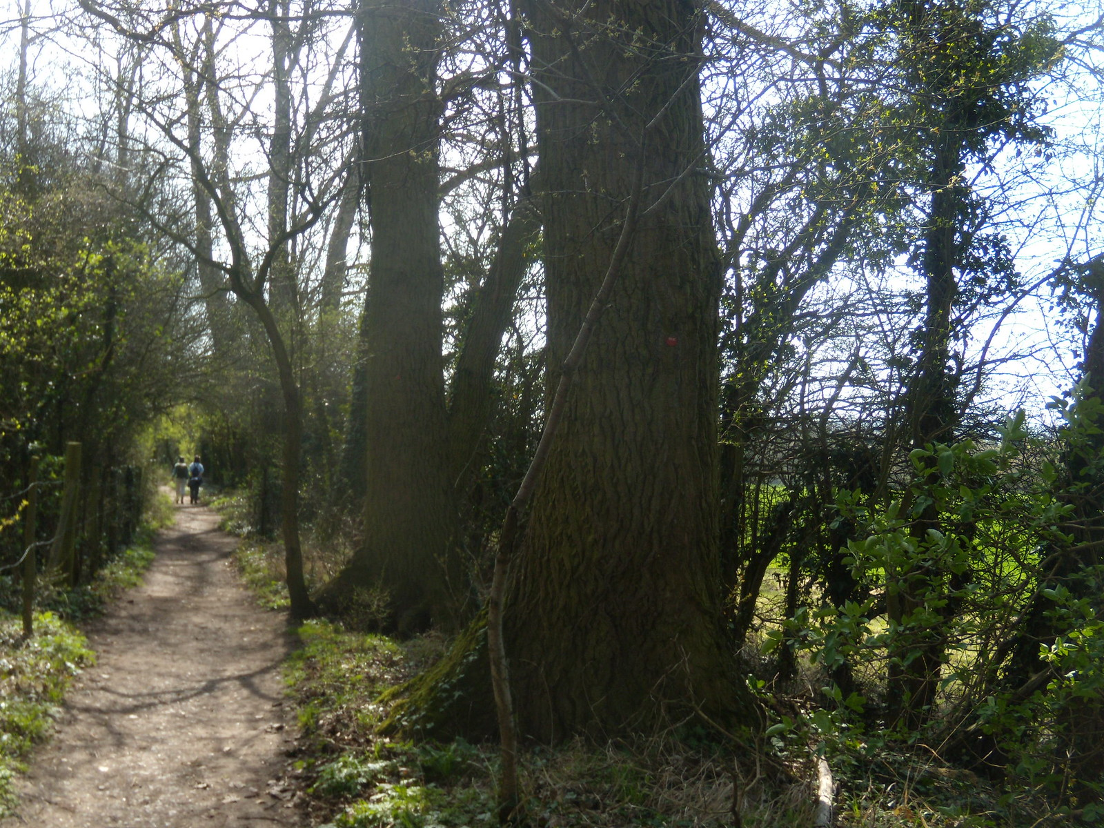 Big trees, Wilstone Reservoir Tring to Wendover