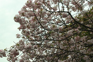 Cherry blossoms | by lchunt