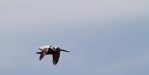 Brown Pelican   by zackojones