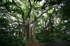 Ficus microcarpa - 03 | by Kabacchi