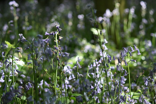 Bluebells | by andrew_j_w