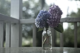 Hydrangeas in old milk bottle