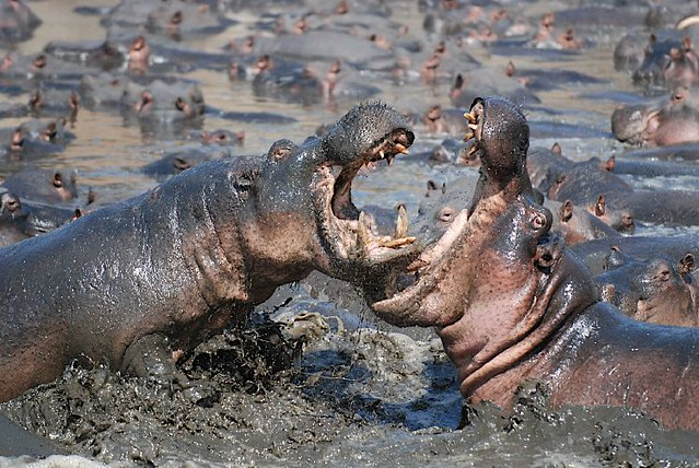 Hippo fight 2/3
