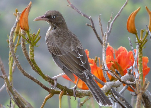 Pearly Eyed Thrasher from Guana Island | by Mike's Birds