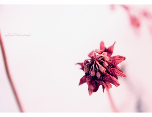 pink winter flower canon dof deadnature aniket