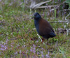 Black-tailed Crake (Amaurornis bicolor) by Bram Demeulemeester - Birdguiding Philippines
